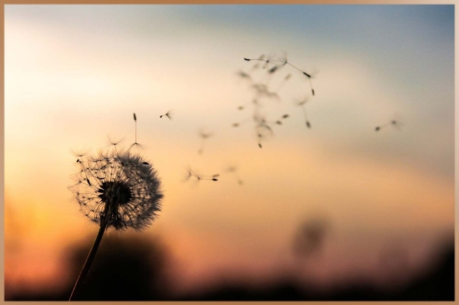 Wind flies dandelion seeds in the nature during sunset